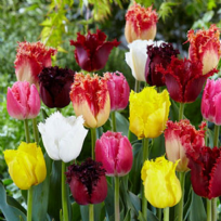 Tulip - Mixed Fringed